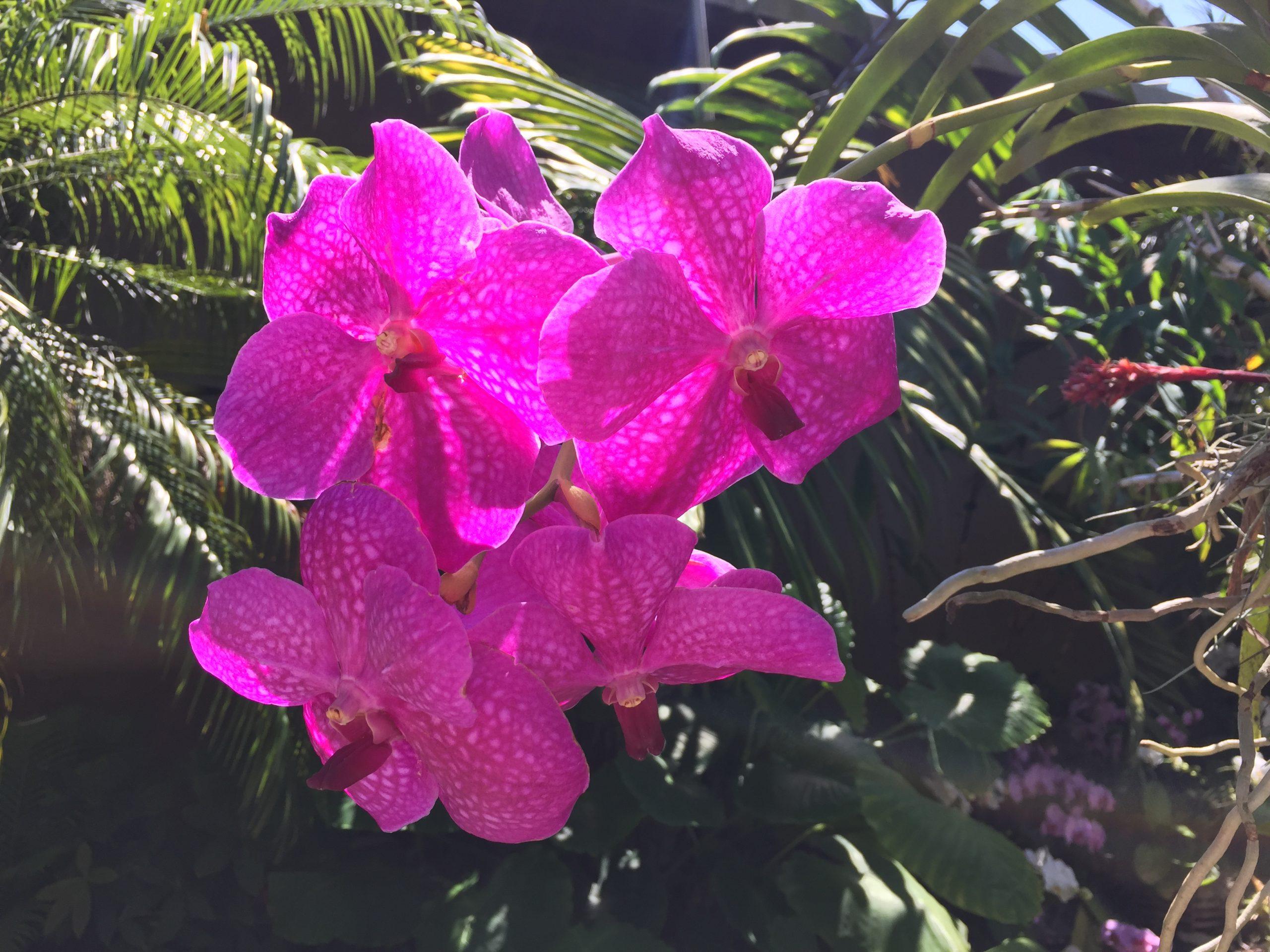 Orchidées du blogue de Phrenssynnes